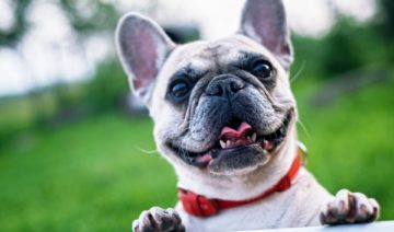 best-dog-camera-on-french-bulldog-rangersdog.com