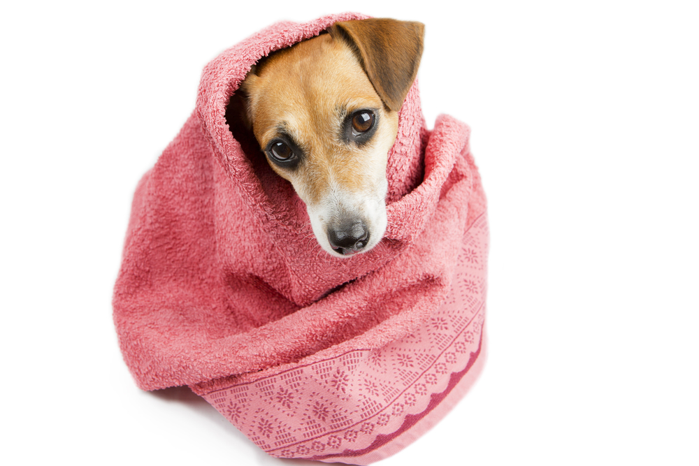 3102e84c173a 10 Best Dog Drying Towels to keep your pooch warm and dry. - RangersDog.com